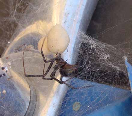 Brown recluse web pictures
